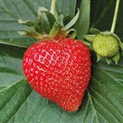 fruit-fraise