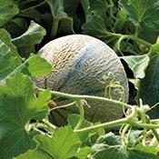 fruit-melon
